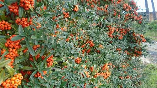 plant tomato plant fruit
