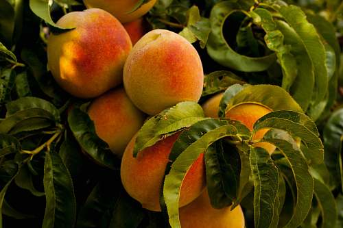 photo fruit unharvested ripe peach fruits at daytime peach free for commercial use images