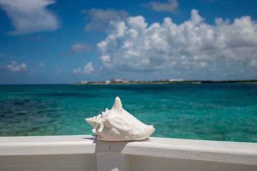 cream white conch shell creme