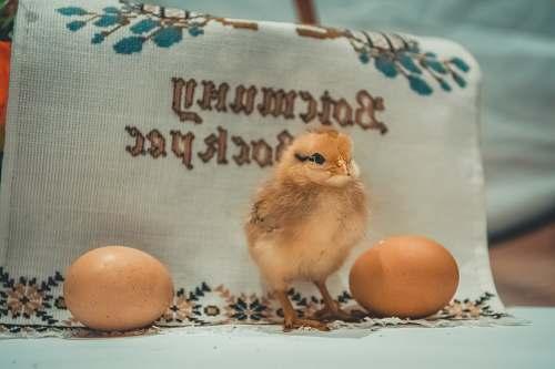 egg yellow chick bird
