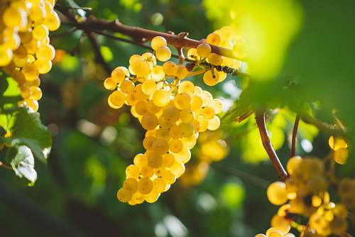 plant yellow grapes fruits fruit