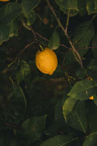fruit yellow lemon plant citrus fruit
