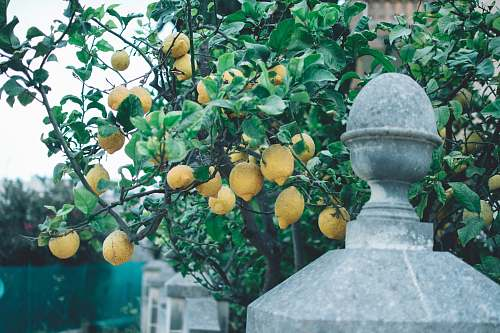 fruit yellow lemon tree citrus fruit
