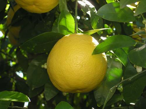 fruit yellow round fruit citrus fruit
