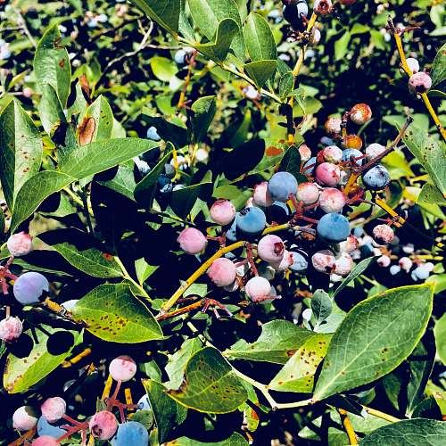 blueberry blue berries photograph plant