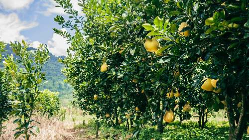 food green and yellow lemon trees during daytime citrus fruit