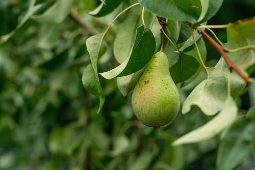 plant green avocado fruit pear