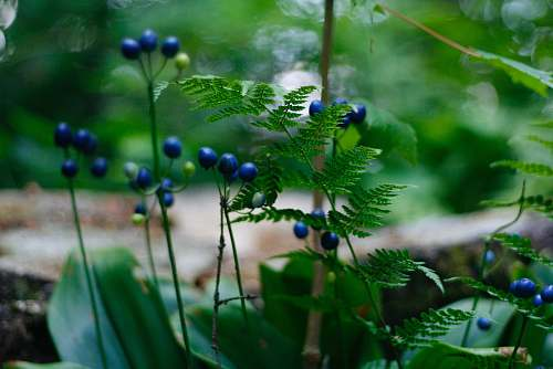 blueberry green-leafed plant with blue fruits food