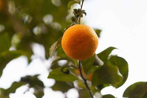 photo food orange fruit hanging from plant citrus fruit free for commercial use images