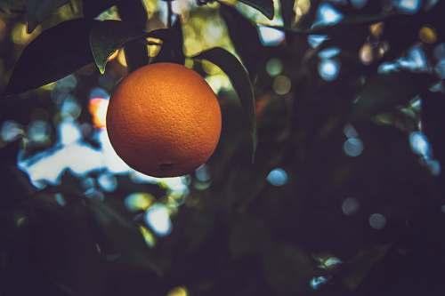 food orange fruit on tree orange