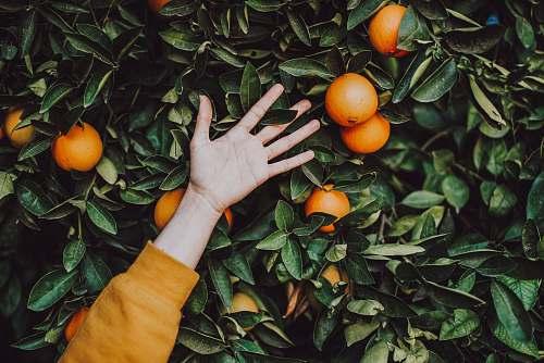 plant orange fruits orange