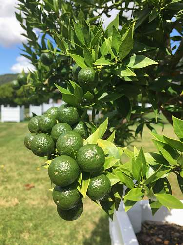 food round green fruits at daytime plant