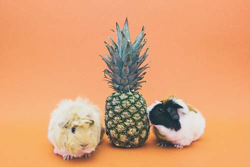 photo animal two guinea pigs beside pineapple fruit pineapple free for commercial use images