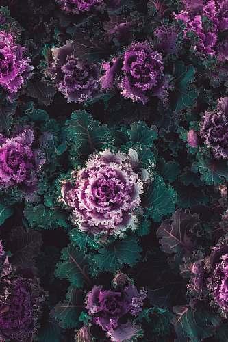 vegetable purple petaled flower cabbage