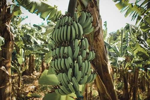 food banana plant banana