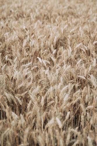 food brown wheat field grain