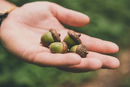 food four green walnuts on right palm person