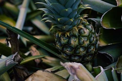 fruit green pineapple pineapple