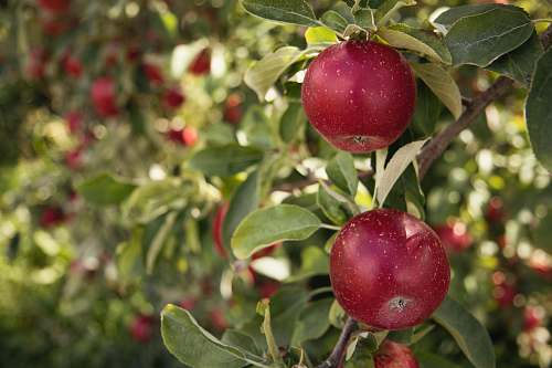 fruit round red fruit apple