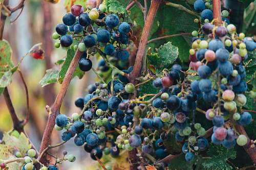 food selective focus photo of grapes blueberry