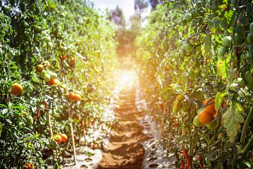 food tomatoes in line at daytime produce