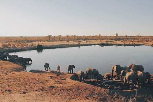 zimbabwe herd of elephant drinking water from lake africa