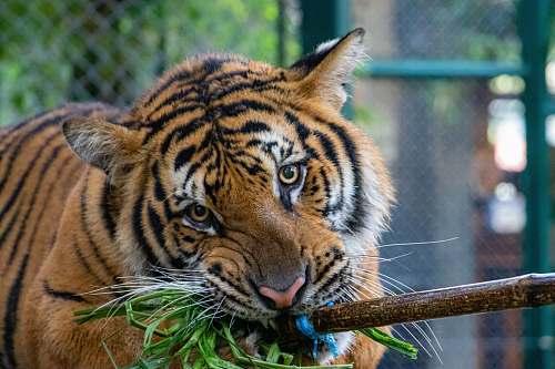tiger  wildlife