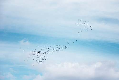 photo flock a flock of birds flying in the sky blue free for commercial use images