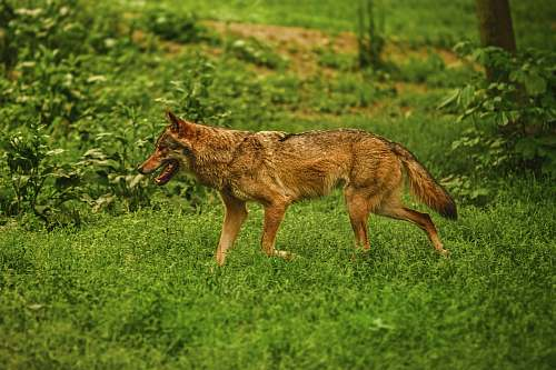 canine adult brown dog on green grass coyote