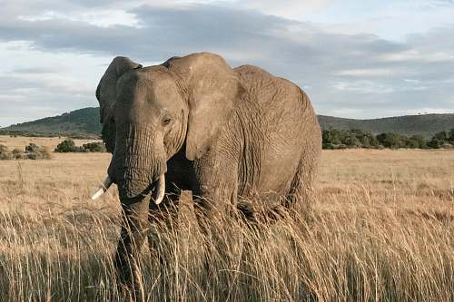 wildlife adult elephant standing in wheat field elephant