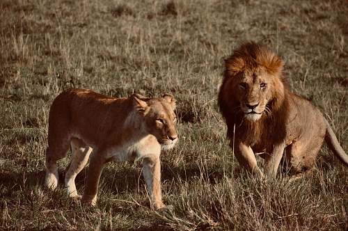 mammal adult lion and lioness at the wild during day lion