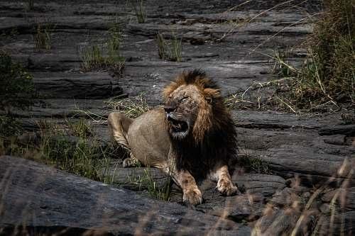 lion adult lion lying on rock wildlife