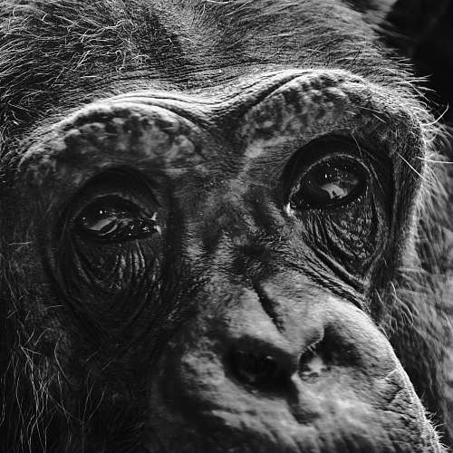 photo black-and-white adult monkey ape free for commercial use images