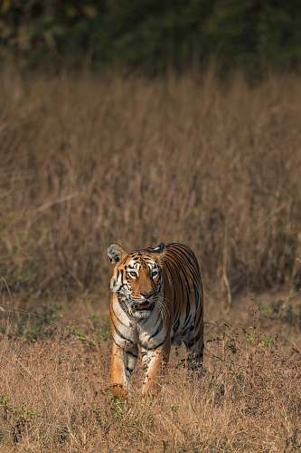 mammal adult tiger standing on dry fields tiger