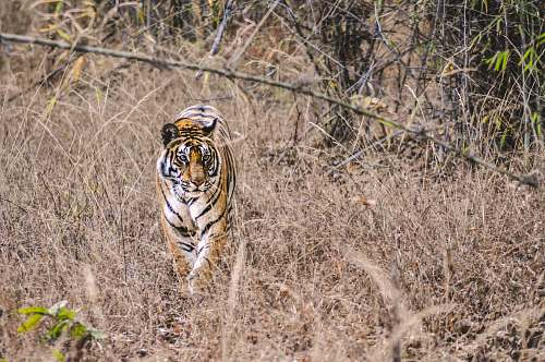 wildlife adult tiger walking on brown grass tiger