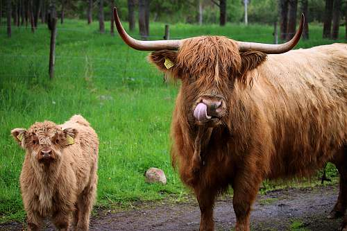 cattle adult West Highland cattle by calf cow