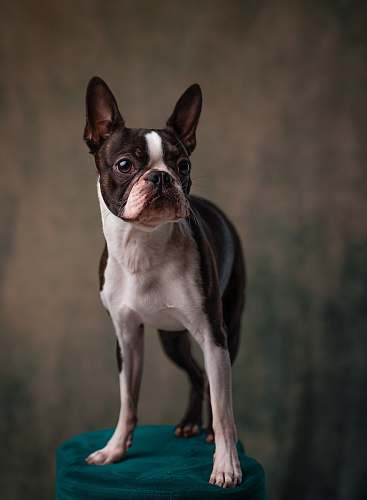 dog adult white and black Boston terrier pet