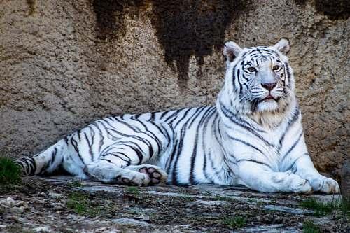 tiger adult white tiger wildlife