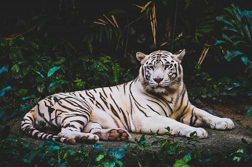 tiger albino tiger lying on ground at nighttime wildlife