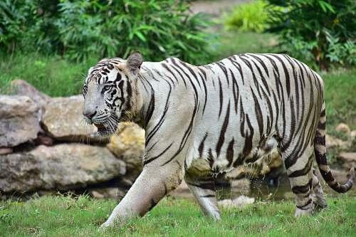 wildlife albino tiger tiger