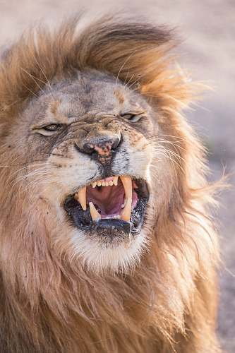 mammal angry lion lion