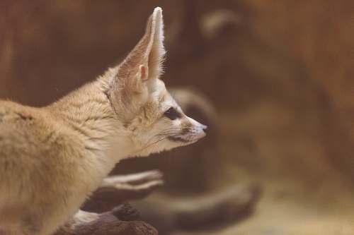 fox animal looking at its left mammal
