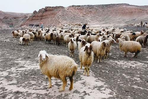 sheep assorted sheeps mammal
