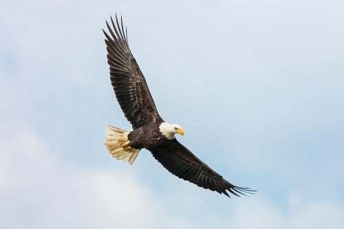 bird bald eagle flying on skies eagle