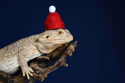 lizard bearded dragon on wood iguana