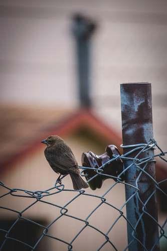 bird bird on chain link fence agelaius