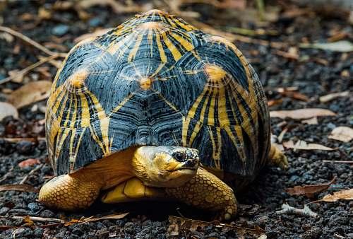 reptile black and brown desert tortoise sea life