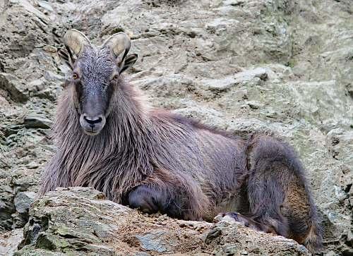 mammal black and brown goat kangaroo