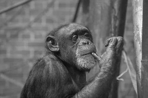 black-and-white black and brown monkey print textile ape