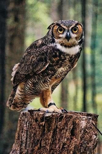 bird black and brown owl owl
